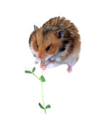 Brown Syrian hamster sitting and eating green stem of a plant is Stock Photos