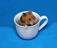 Brown Syrian hamster sitting in a white porcelain cup Stock Photography