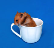 Brown Syrian hamster sitting in a white porcelain cup Stock Photos