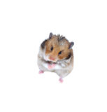 Brown Syrian hamster stands on his hind legs isolated. On a white background Stock Images