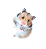 Brown Syrian hamster stands on his hind legs isolated. On a white background Royalty Free Stock Images