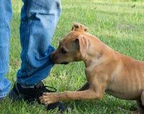 Brown szczeniak przygryza przy spodnie nogą Fotografia Royalty Free