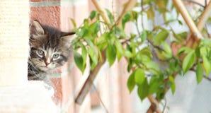 Brown szczeniak siberian kot przy jeden miesiącem Obraz Stock