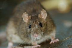 Brown szczur Obrazy Stock