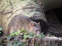 Brown szczur patrzeje dla następnego posiłku Obrazy Royalty Free