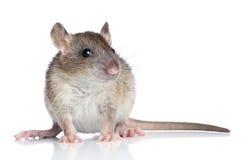 Szczur na białym tle Obraz Stock