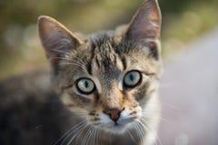 Brown Tabby Cat Stock Image