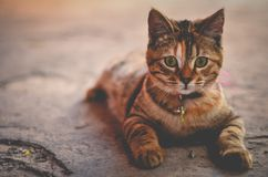 Brown Tabby Cat Royalty Free Stock Photo
