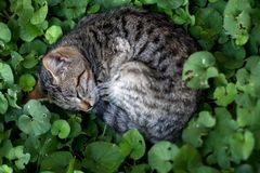 Brown Tabby Cat. Hiding in the garden, sleeping in the grass. Selective focus royalty free stock photo