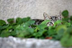 Brown Tabby Cat. Hiding in the garden, sleeping in the grass. Selective focus royalty free stock images