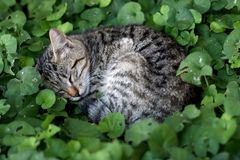 Brown Tabby Cat. Hiding in the garden, sleeping in the grass. Selective focus stock photo