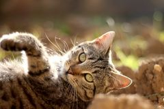 Brown Tabby Cat. Lying in the garden and sunbathing. Selective focus royalty free stock image
