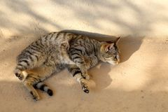 Brown Tabby Cat. Lying outdoor and sunbathing stock images
