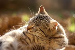 Brown Tabby Cat. Lying in thegarden, sunbathing and grooming itself. Selective focus royalty free stock image