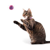 Brown tabby cat catching a toy Royalty Free Stock Photography
