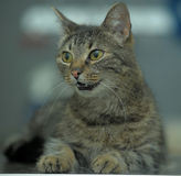 Brown tabby cat Royalty Free Stock Image