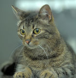 Brown tabby cat Stock Photos