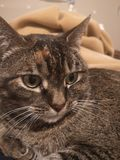 Brown Tabby cat. Domestic shorthaired brown tabby royalty free stock images
