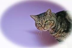 Brown Tabby Cat en Violet Background con la ilustración Imágenes de archivo libres de regalías