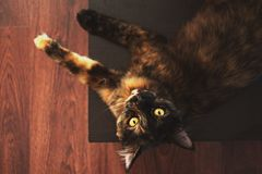 Brown Tabby Cat on Floor Royalty Free Stock Photography