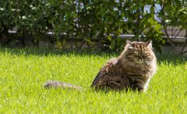 Brown tabby cat in the garden, siberian breed female on the grass green Stock Images