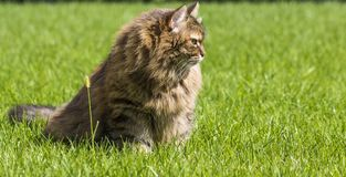 Brown tabby cat in the garden, siberian breed female on the grass green Royalty Free Stock Image