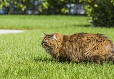 Brown tabby cat in the garden, siberian breed female walking on the grass green Royalty Free Stock Image