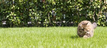 Brown tabby cat in the garden, siberian breed female walking on the grass green Royalty Free Stock Photography