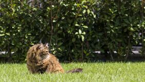 Brown tabby cat in the garden, siberian breed female walking on the grass green Stock Photos