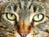 Brown tabby cat gaze. Brown tabby cat stares intensely with yellow-green eyes stock photography