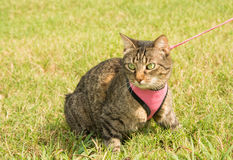 Brown tabby cat in harness and leash. In green grass, looking to the left of the viewer Royalty Free Stock Photography