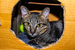 Brown Tabby Cat Inside Cardboard Box stock photos