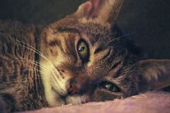 Brown Tabby Cat Laying on Pink Textile Stock Photos