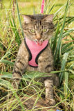 Brown tabby cat on a leash in pink harness. In high vegetation Royalty Free Stock Image