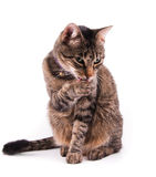 Brown tabby cat licking her paw. On white stock photo