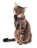 Brown tabby cat licking her paw Royalty Free Stock Photos