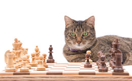 Brown tabby cat looking across a chessboard Royalty Free Stock Images