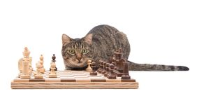 Brown tabby cat looking attentively across a chessboard. On white Royalty Free Stock Photo