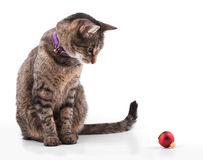 Brown tabby cat looking at a red bauble Stock Images