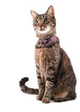 Brown tabby cat looking to the left of the viewer Royalty Free Stock Image