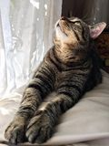 Brown tabby cat looking up. With paws outstretched Royalty Free Stock Photos