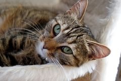 Brown Tabby Cat Lying Down on Bed Stock Photos
