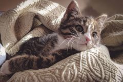 Brown Tabby Cat Lying Down on Gray Bed Sheet Stock Photos