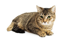 Brown Tabby Cat Lying Down Over White Royalty Free Stock Image