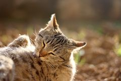 Brown Tabby Cat. Lying in thegarden, sunbathing and grooming itself. Selective focus stock photography