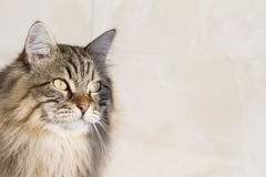 Brown tabby cat outdoor, siberian breed Stock Images
