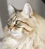 Brown tabby cat outdoor, siberian breed Royalty Free Stock Photos