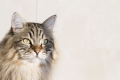 Brown tabby cat outdoor, siberian breed Royalty Free Stock Images