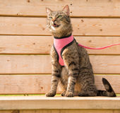 Brown tabby cat in a pink harness and leash. Sitting on a wooden bench meowing Stock Photos
