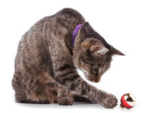 Brown tabby cat playing with a bauble. On white background royalty free stock photos